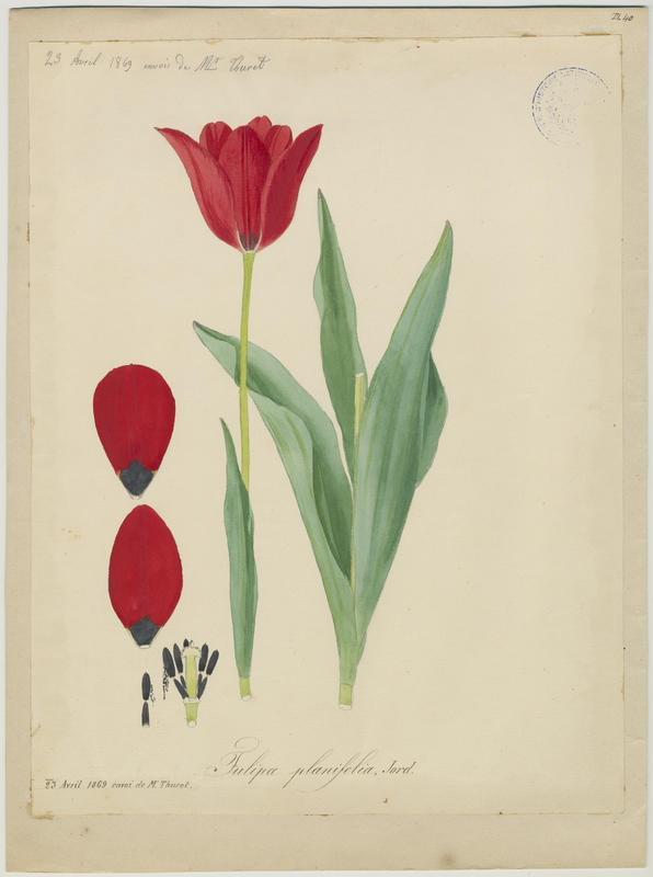 FOSSAT Vincent (aquarelliste, peintre) : Tulipe à feuilles planes, Tulipe des Sarrazins, plante à fleurs