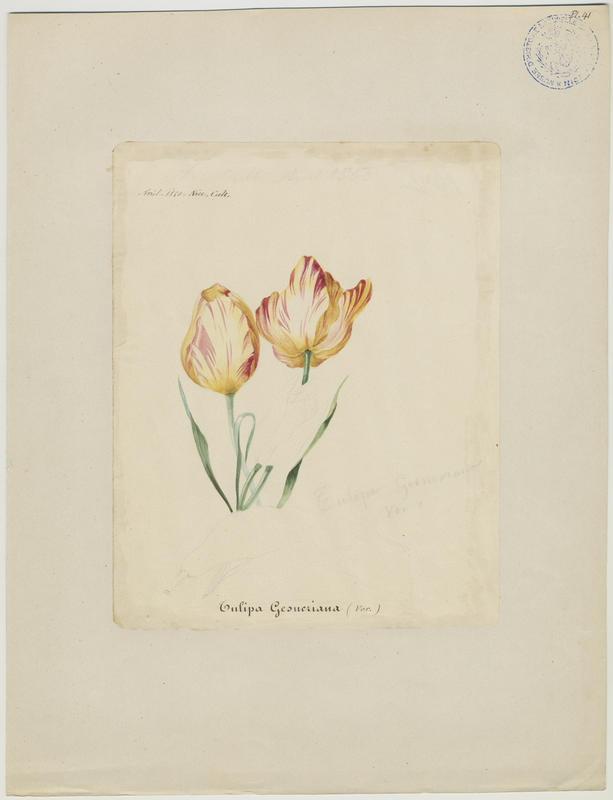 BARLA Jean-Baptiste (attribué à) : Tulipe de Gesner, plante à fleurs