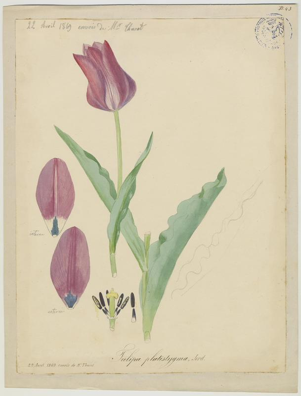 BARLA Jean-Baptiste (attribué à) : Tulipe à stigmates aplatis, plante à fleurs