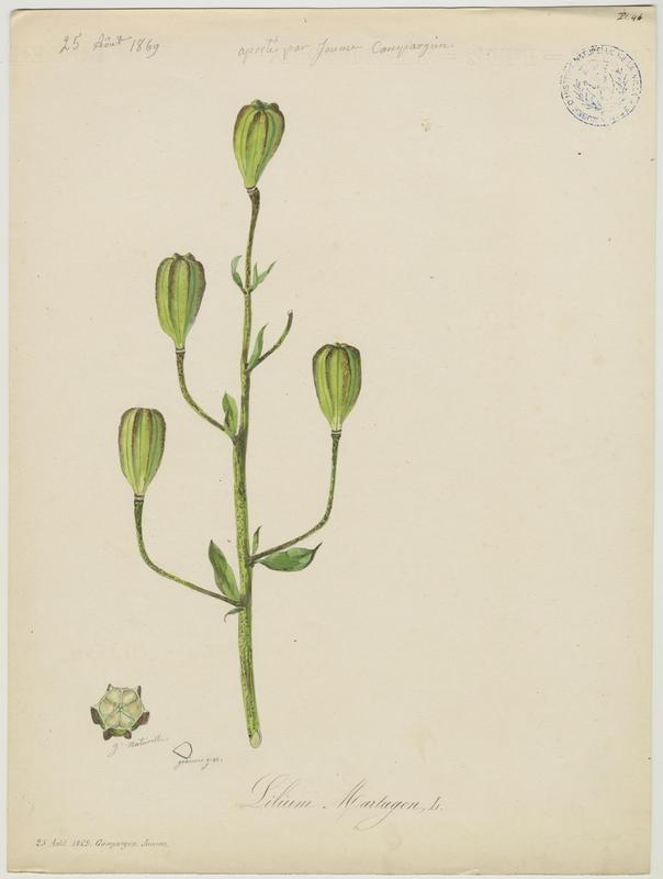 BARLA Jean-Baptiste (attribué à) : Lys martagon, plante à fleurs