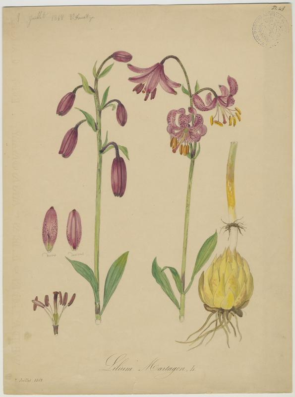 Lys martagon ; plante à fleurs_0