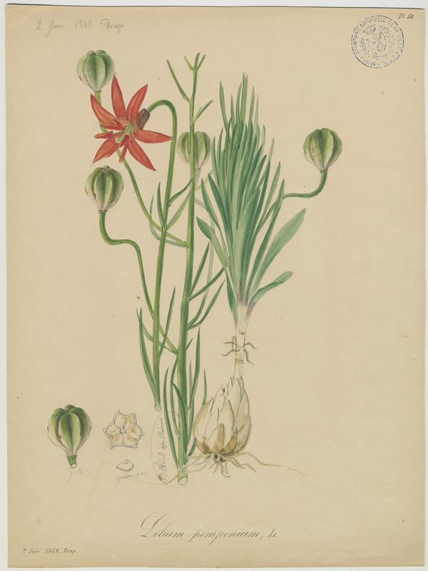 Lys de Pompone ; Lys turban ; plante à fleurs_0