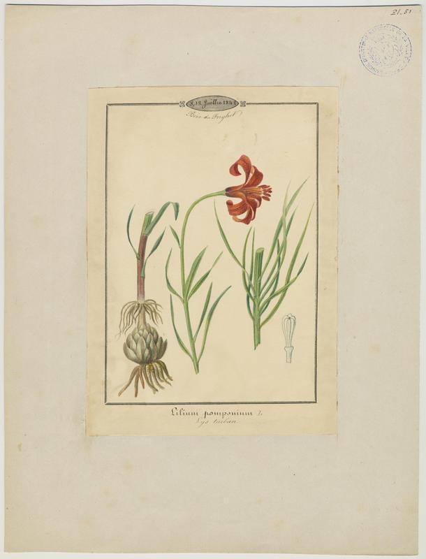 BARLA Jean-Baptiste (attribué à) : Lys turban, Lys de Pompone,  plante à fleurs