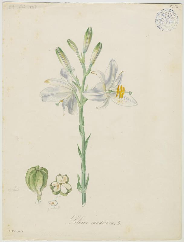 Lys blanc ; Lys de la Madone ; plante à fleurs_0