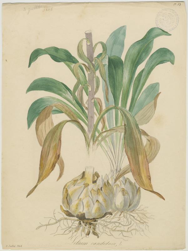 BARLA Jean-Baptiste (attribué à) : Lys blanc, Lys de la Madone, plante à fleurs
