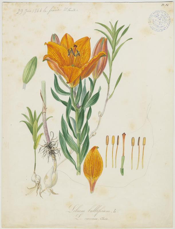 FOSSAT Vincent (aquarelliste, peintre) : Lys orangé à bulbille, plante à fleurs
