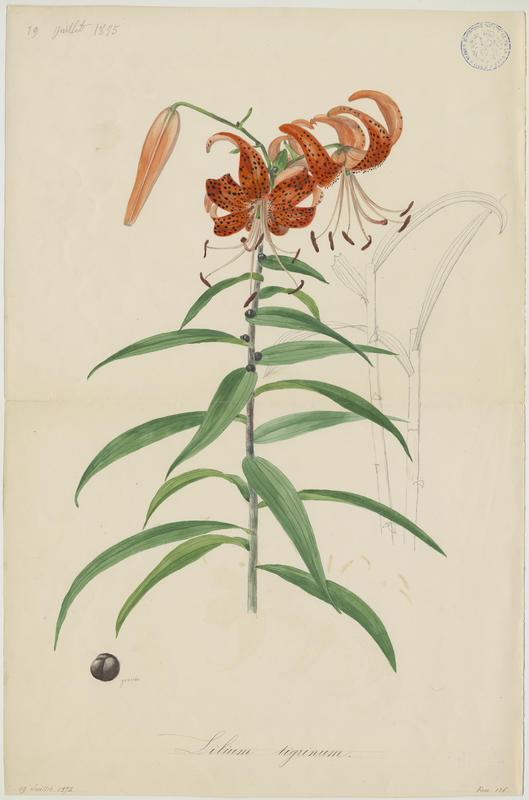 Lys ; plante à fleurs_0