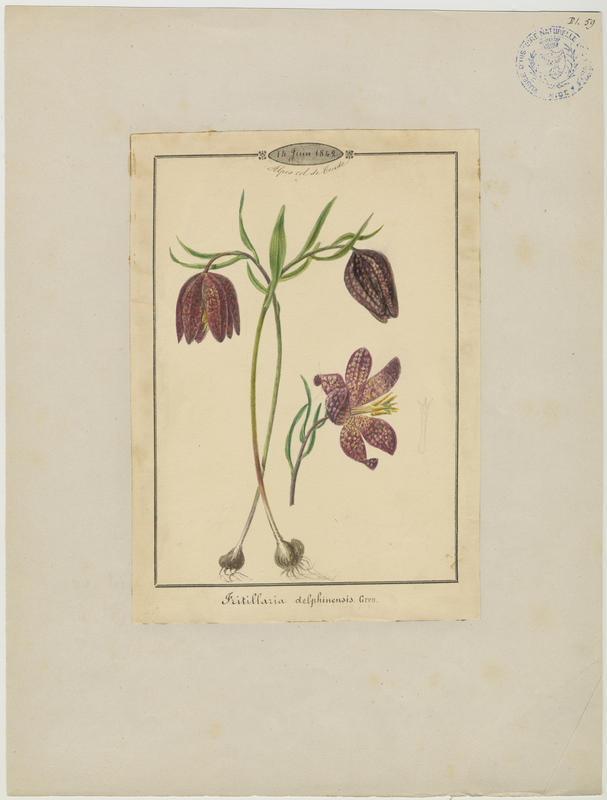 Fritillaire du Dauphiné ; Fritillaire-trompette ; plante à fleurs_0