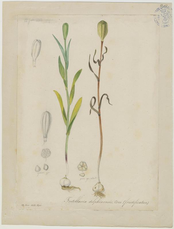 BARLA Jean-Baptiste (attribué à) : Fritillaire du Dauphiné, Fritillaire-trompette, plante à fleurs