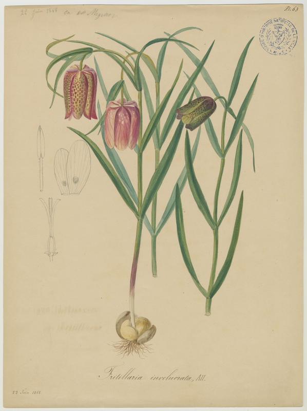 BARLA Jean-Baptiste (attribué à) : Fritillaire à involucre, plante à fleurs