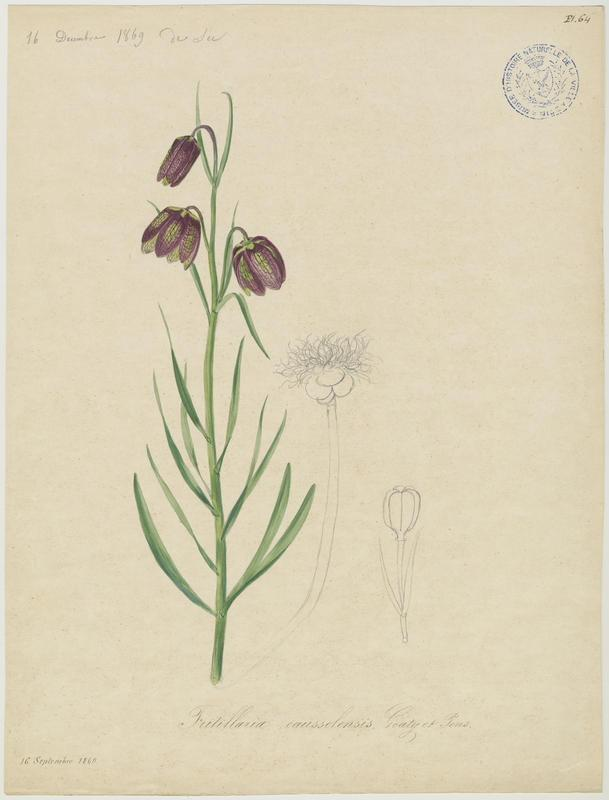 BARLA Jean-Baptiste (attribué à) : Fritillaire d'Orient , plante à fleurs