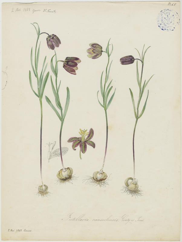 FOSSAT Vincent (aquarelliste, peintre) : Fritillaire d'Orient, plante à fleurs