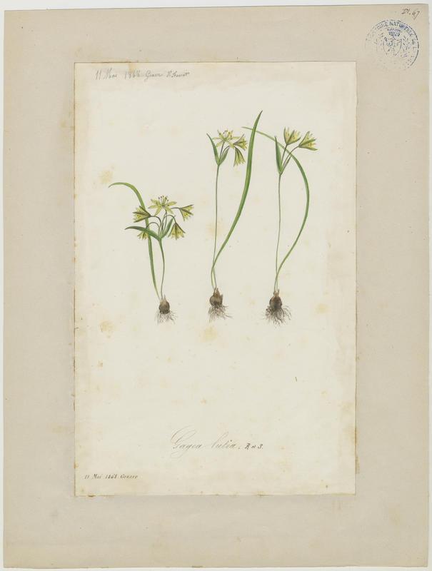 Gagée jaune ; Gagée des bois ; Étoile jaune ; Ornithogale jaune ; plante à fleurs_0