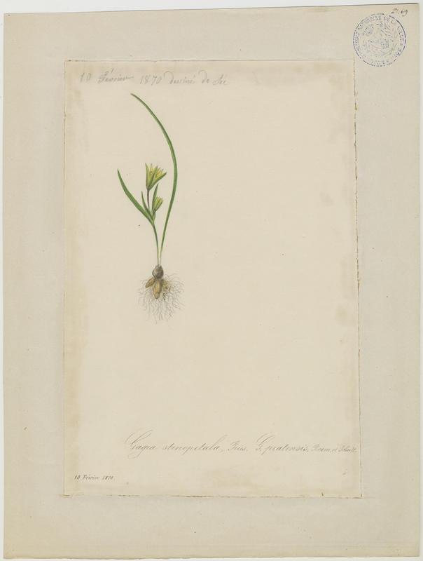 BARLA Jean-Baptiste (attribué à) : Gagée des prés, Gagée à pétales étroits, plante à fleurs