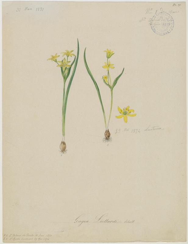 BARLA Jean-Baptiste (attribué à) : Gagée de Liotard, plante à fleurs