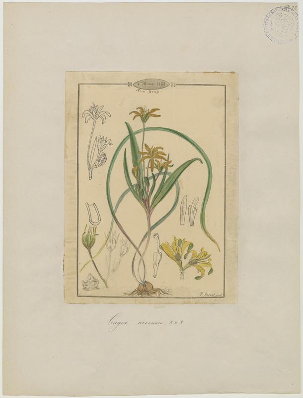 FOSSAT Vincent (aquarelliste, peintre) : Gagée naine, Petite gagée, Gagée des champs, plante à fleurs