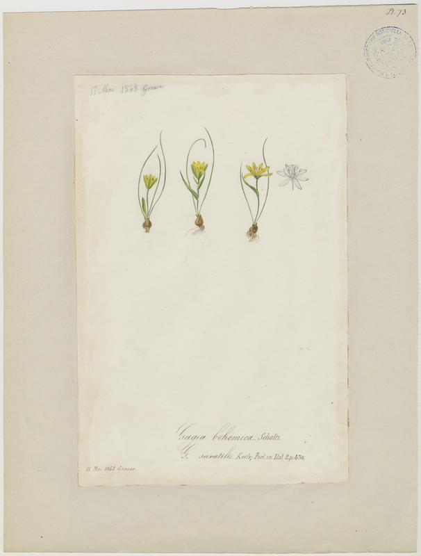 BARLA Jean-Baptiste (attribué à) : Gagée de Bohème, Gagée fistuleuse, plante à fleurs