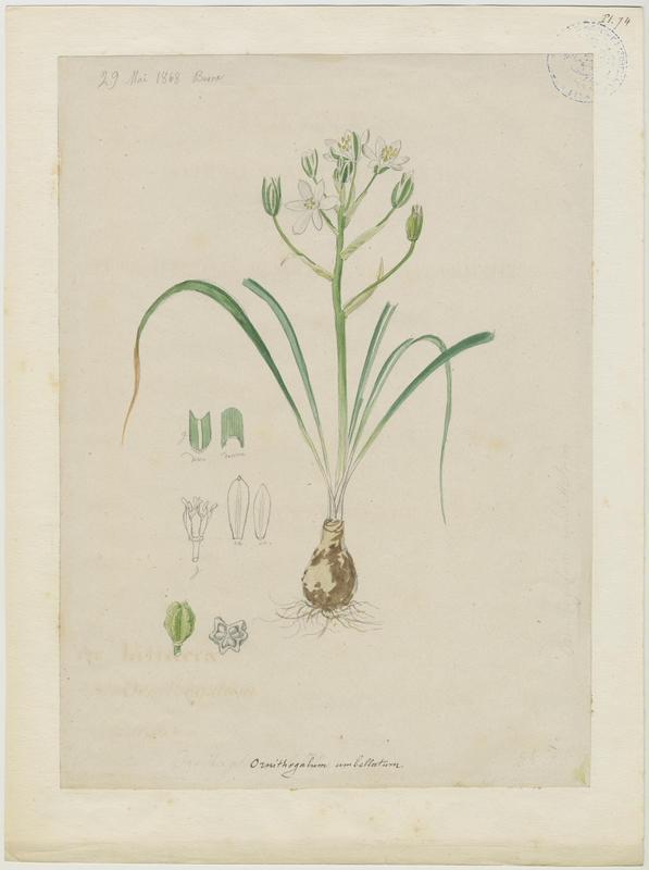 BARLA Jean-Baptiste (attribué à) : Ornithogale à feuilles étroites, Etoile de Bethléem, Dame de onze heures, Ornithogale en ombelle, plante à fleurs