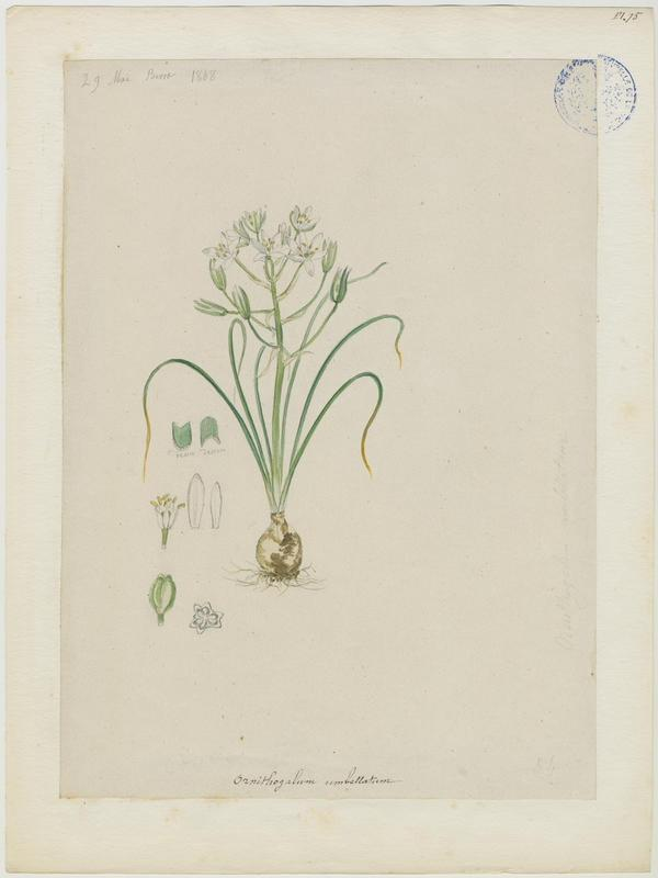 Ornithogale à feuilles étroites ; Etoile de Bethléem ; Dame de onze heures ; Ornithogale en ombelle ; plante à fleurs_0