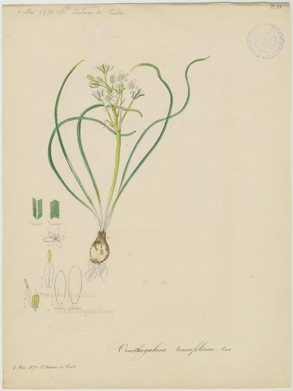 BARLA Jean-Baptiste (attribué à) : Ornithogale de Gussone, Ornithogale à feuilles droites, plante à fleurs
