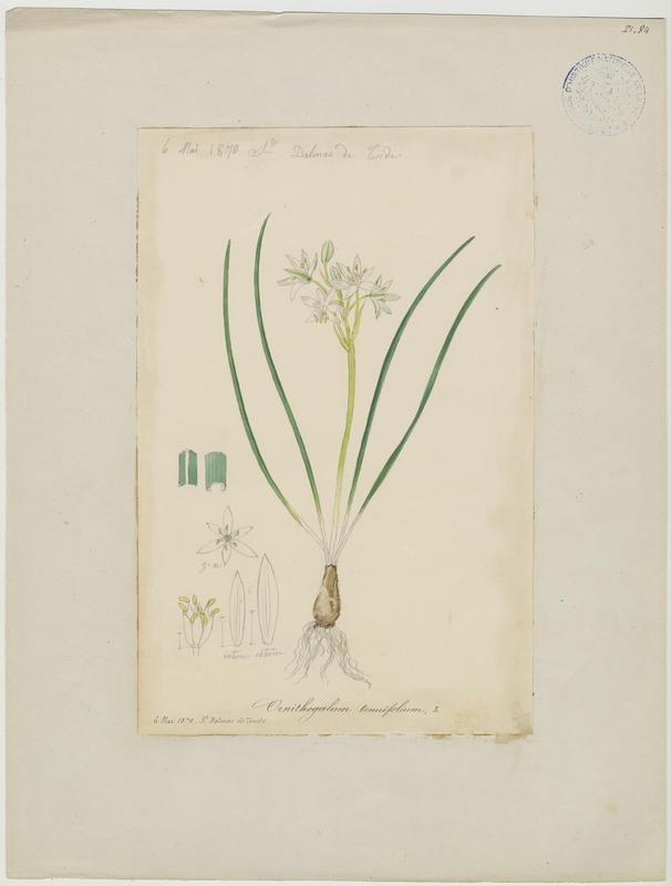 Ornithogale de Gussone ; Ornithogale à feuilles droites ; plante à fleurs_0