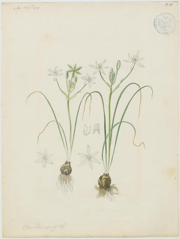 Ornithogale à feuilles étroites ; plante à fleurs_0