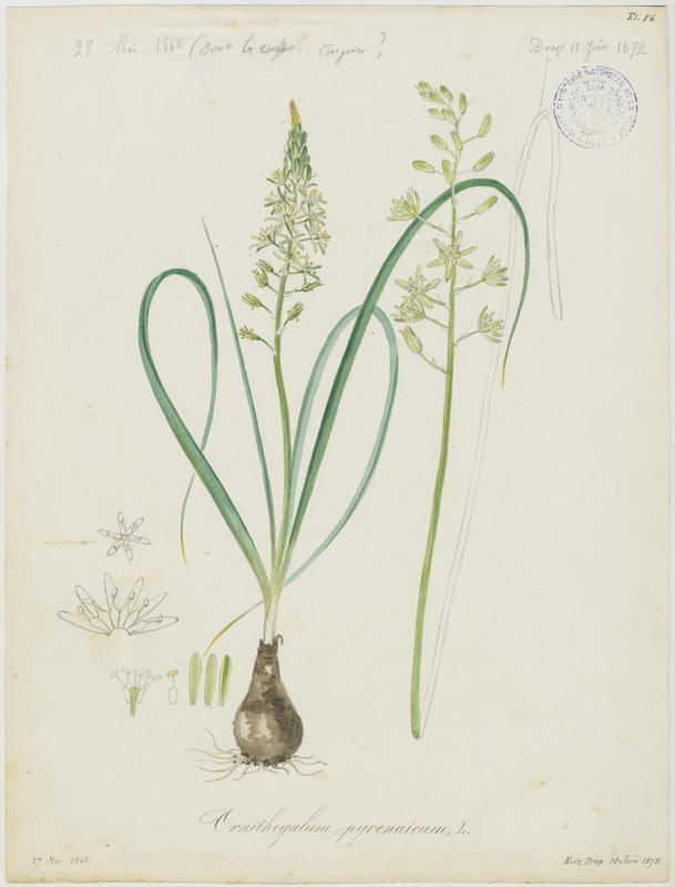 BARLA Jean-Baptiste (attribué à) : Ornithogale des Pyrénées, plante à fleurs