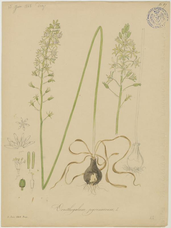 FOSSAT Vincent (aquarelliste, peintre) : Ornithogale des Pyrénées, plante à fleurs