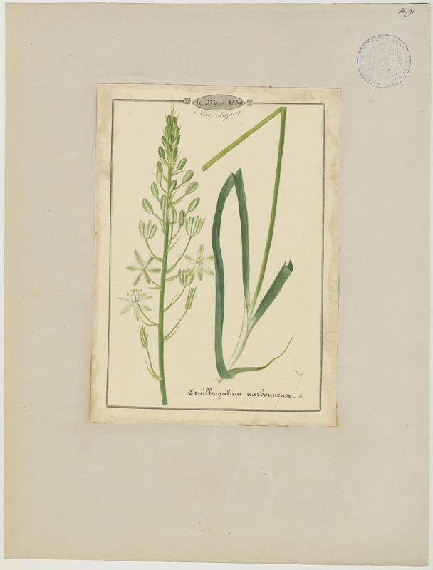 Ornithogale de Narbonne ; plante à fleurs_0