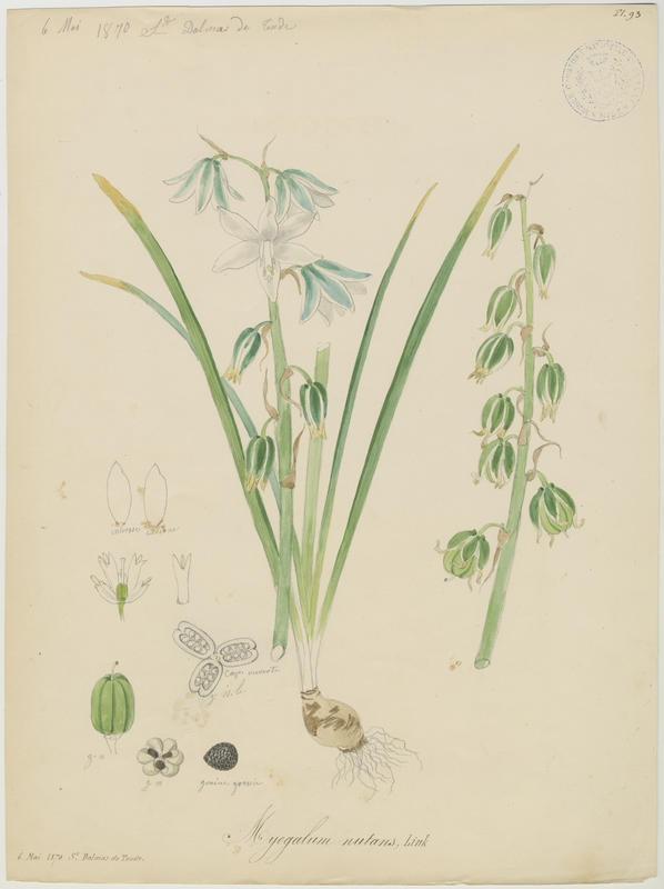 Ornithogale à fleurs penchées ; plante à fleurs_0
