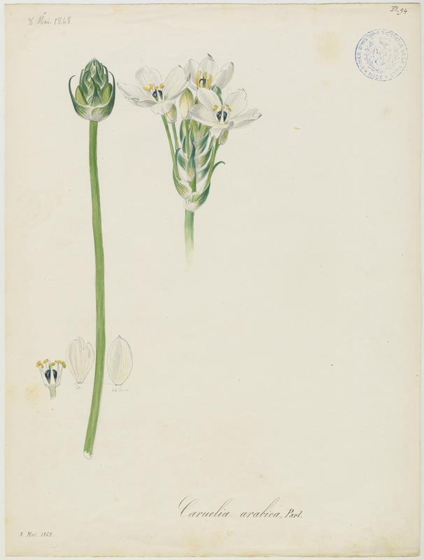 BARLA Jean-Baptiste (attribué à) : Ornithogale d'Arabie, plante à fleurs