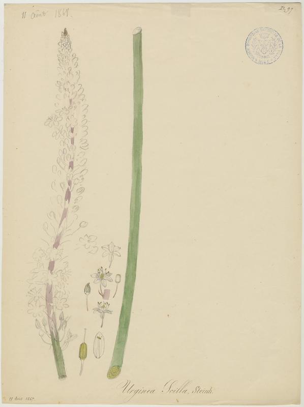 BARLA Jean-Baptiste (attribué à) : Scille maritime, plante à fleurs