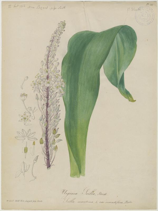 Scille maritime ; Urginée maritime ; Scille mort-aux-rats ; Squille ; Grand scille ; Charpentaire ; plante à fleurs_0