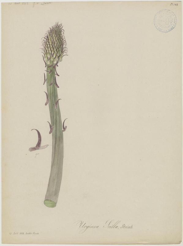 BARLA Jean-Baptiste (attribué à) : Scille maritime, Urginée maritime, Scille mort-aux-rats, Squille, Grand scille, Charpentaire, plante à fleurs