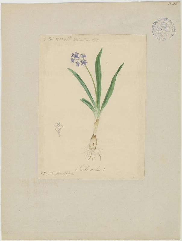 Scille d'Italie ; plante à fleurs_0