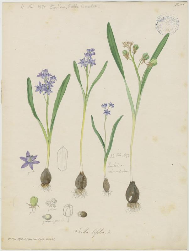 BARLA Jean-Baptiste (attribué à) : Scille à deux feuilles, Étoile bleue, plante à fleurs