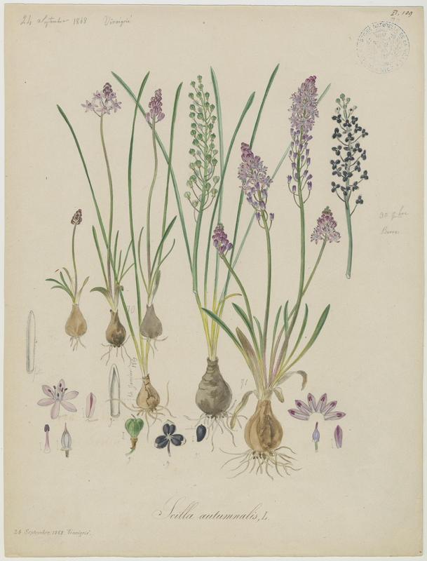 BARLA Jean-Baptiste (attribué à) : Scille d'automne, plante à fleurs