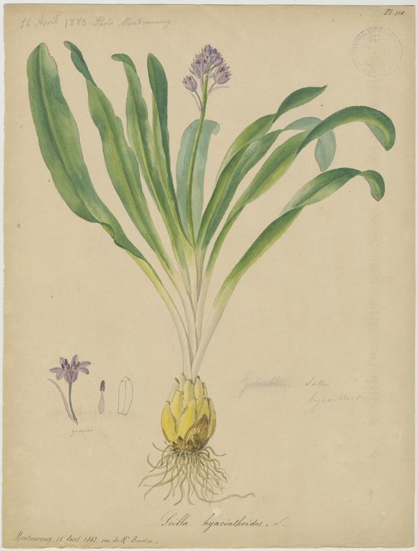 Scille fausse jacinthe ; plante à fleurs_0
