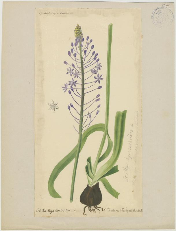 BARLA Jean-Baptiste (attribué à) : Scille fausse jacinthe, plante à fleurs