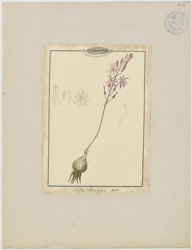 Scille ; plante à fleurs_0