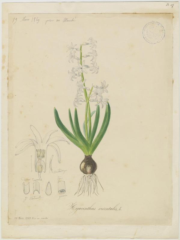 Hyacinthe orientale ; plante à fleurs_0