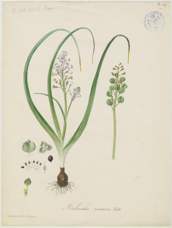 BARLA Jean-Baptiste (attribué à) : Bellevalia de Rome, plante à fleurs