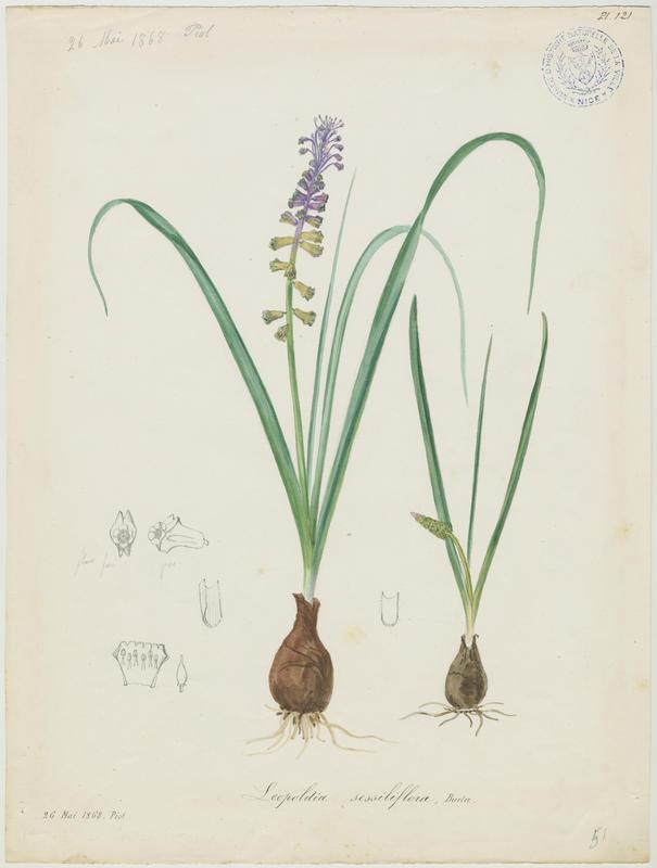 BARLA Jean-Baptiste (attribué à) : Muscari à toupet, Muscari faux botryde, Muscari botryoïde, plante à fleurs