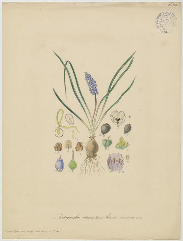 Muscari à grappe ; Muscari négligé ; plante à fleurs_0