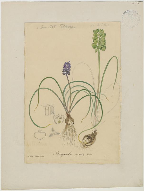 BARLA Jean-Baptiste (attribué à) : Muscari à grappe, Muscari négligé, plante à fleurs