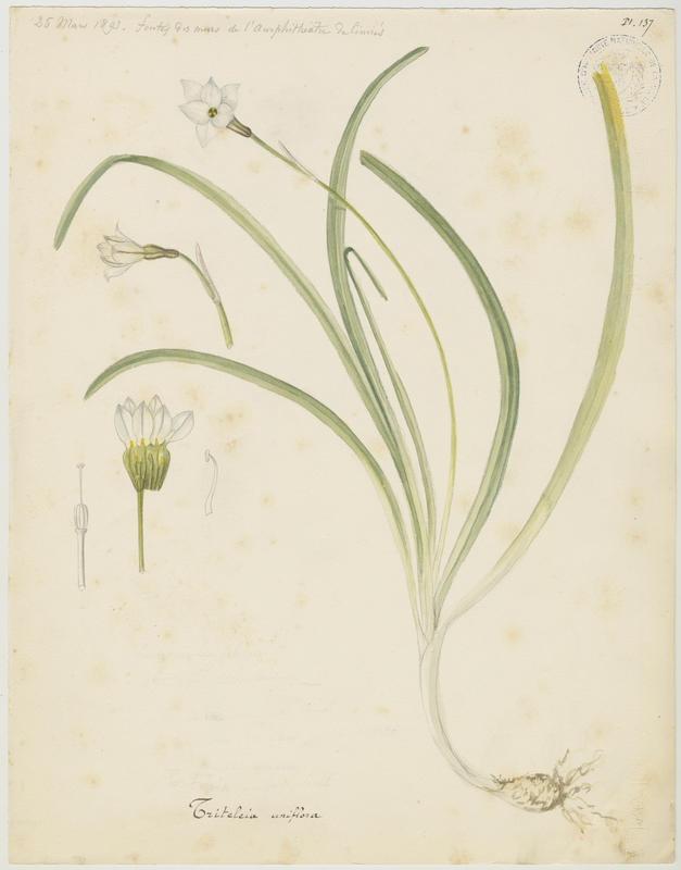 BARLA Jean-Baptiste (attribué à) : Iphéion, plante à fleurs