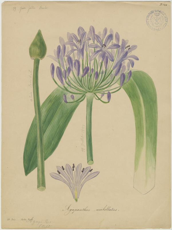 BARLA Jean-Baptiste (attribué à) : Agapanthe, Lys du Nil, Tubéreuse bleue, plante à fleurs