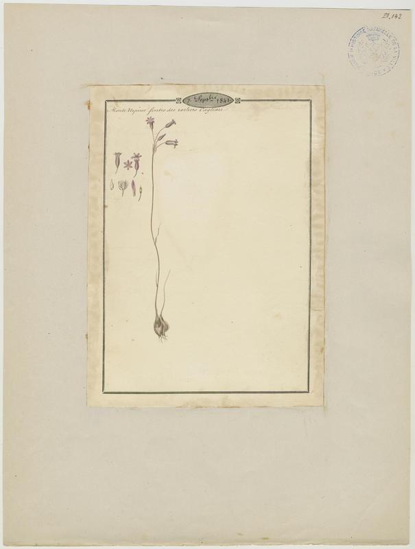 BARLA Jean-Baptiste (attribué à) : Allium, plante à fleurs