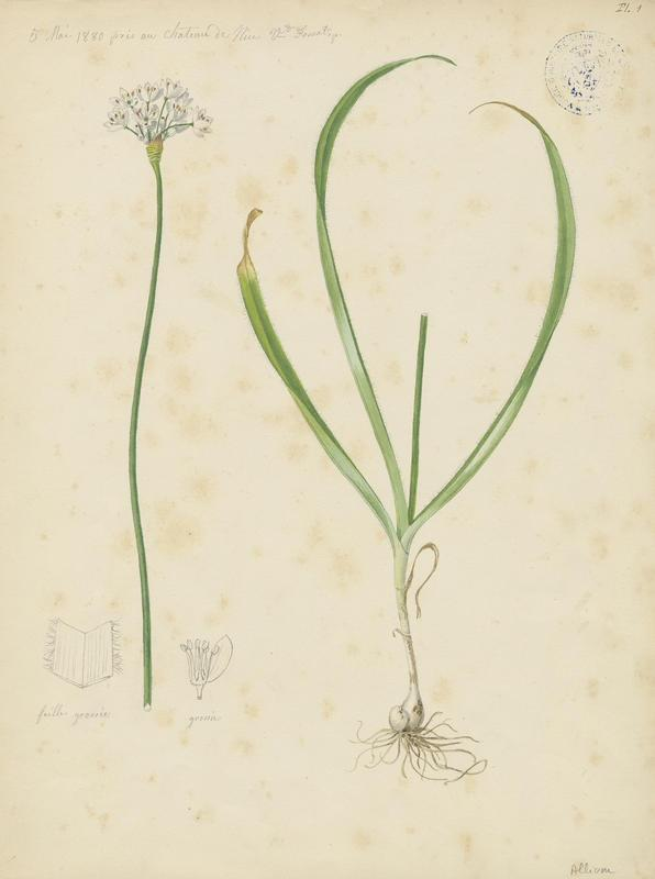 FOSSAT Vincent (aquarelliste, peintre) : Ail à trois feuilles, plante à fleurs