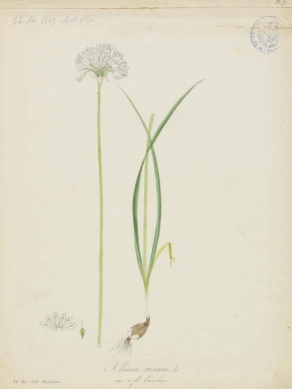 BARLA Jean-Baptiste (attribué à) : Ail rose, plante à fleurs